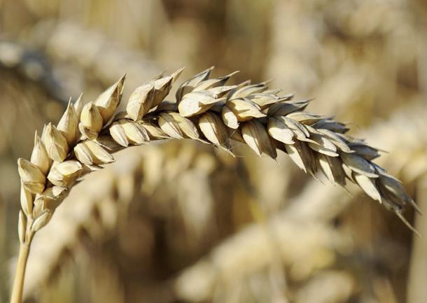 Espiga de trigo de una exposición agrícola en Wennigsen (Alemania, 2011)
