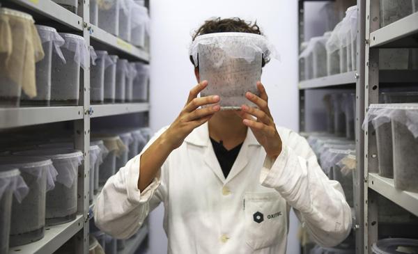"""BRASIL ZIKA:ACOMPAÑA CRÓNICA: BRASIL ZIKA. BRA69. PIRACICABA (BRASIL), 27/01/2016.- La supervisora de producción de la empresa inglesa Oxitec, Karla Tepedino, muestra mosquitos modificados genéticamente, este martes, 26 de enero de 2016, en Piracicaba, estado de Sao Paulo (Brasil). Una legión semanal de 800.000 mosquitos transgénicos combate en la ciudad brasileña de Piracicaba el Aedes aegypti, un transmisor del dengue y el zika que ha puesto en jaque a las autoridades sanitarias de Brasil y otros países de Latinoamérica. Los mosquitos transgénicos, cuya comercialización todavía está pendiente de aprobación por parte de los órganos reguladores, se aparejan en libertad con las hembras salvajes y transmiten el """"gen letal"""" a sus descendientes, por lo que la nueva generación de mosquitos muere antes de llegar a la fase adulta, disminuyendo así su población. EFE/Sebastião Moreira [ACOMPAÑA CRÓNICA: BRASIL ZIKA]"""